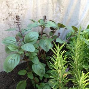 buschbasilikum und rosmarin